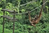 Centrum Rehabilitacji Orangutanów, Sepilok, Malezja